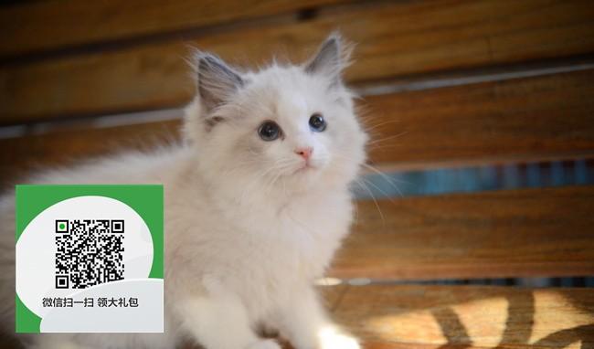 楚雄哪里有布偶猫出售 楚雄布偶猫价格 楚雄宠物猫转让出售