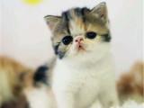 重庆綦江包子脸大眼睛加菲猫猫舍直销