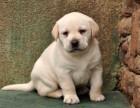南昌纯种拉布拉多犬多少钱 在南昌什么地方能买到纯种拉布拉多犬