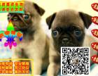 繁殖基地出售精品纯种 巴哥幼犬 批发零售均可包
