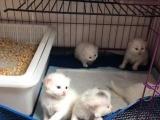 南宁狮子猫弟弟妹妹波斯猫长毛猫弟弟妹妹ddmm公母