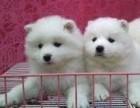 闵行哪里有银狐犬卖 闵行银狐犬价格 闵行银狐犬多少钱