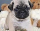 长沙纯种巴哥价格 长沙哪里能买到纯种巴哥犬
