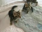 萌萌的猫舍自家培育豹猫出售