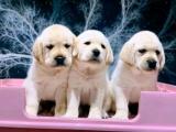 东莞 出售纯种拉布拉多犬 狗狗出售 可签协议质保健康