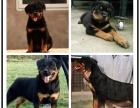 哪里有卖纯种防暴护卫犬罗威纳幼犬 凶猛忠诚健康保障