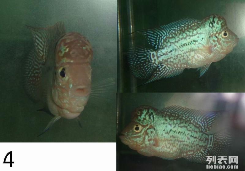 开心罗汉 七月泰国产金花罗汉鱼