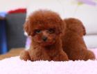 全国连锁双血统贵宾犬繁殖基地 本地可上门
