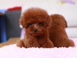 cku注册五星级犬舍 双血统泰迪犬可上门挑选