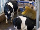 奶牛按摩牛体刷