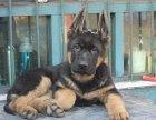 哪里有出售高品质德国牧羊犬,三个月健康保证多少一只