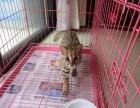 家养孟加拉豹猫 纯种小孟加拉豹猫幼崽出售保证健康