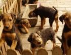 万能梗幼犬梗王梗类犬伴侣犬出售可签协议质保包邮