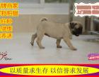 出售纯种巴哥幼犬 狗狗品相好 健康保证 质量保证纯