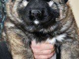 家养一窝纯种高加索可以签协议 来家里看狗父母