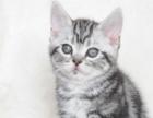 猫舍美短小猫出售