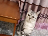 美短虎斑,小公猫一个