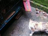 出售会抓老鼠五十多天的小猫仔25
