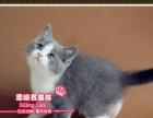 赛级经典款英短蓝白双色小帅哥--思晴名猫坊