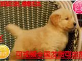 火热直销中纯种金毛幼犬 赛级金毛幼犬 活体