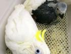 出售自家繁殖葵花鹦鹉 灰鹦鹉 亚马逊鹦鹉 金刚鹦鹉 善学说话