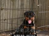 广东省大型养殖狗场、云浮哪里有卖罗威纳犬、罗威纳犬价格