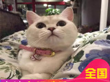 哪里有短毛貓出售家養純種短毛貓健康三包品質好血統可查