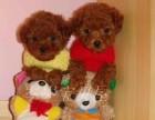 泰迪犬泰迪幼犬泰迪家养繁殖出售活体泰迪犬