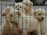 南京出售名犬 金毛 阿拉斯加 拉布拉多 巴哥 等二十個品種