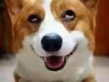 柯基2017犬种冠军直子女