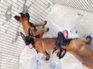 纯种马犬 正规养殖 价格不高 包健康
