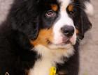 西安出售2 4个月幼犬(伯恩山)疫苗齐签协议