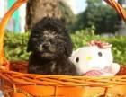 灰色泰迪狗出售 武汉本地犬舍直销泰迪狗狗活泼聪明