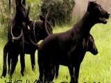 广州哪里有卖黑狼犬的 黑狼犬是护卫犬吗 黑狼犬幼犬价格