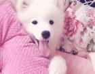 专业专注 萨摩耶犬 健康第一品质保证 签协议可信赖