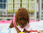 贵宾犬多少钱 健康纯种的贵宾哪里有卖的