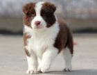高品质的赛级边境牧羊犬幼犬出售了 疫苗做完 质量三包