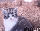 专业猫舍 北京最大 纯种繁育加菲 蓝猫 虎斑猫