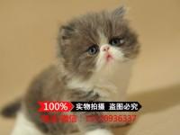 温州波斯猫 长毛波斯猫 白波斯猫 黄波斯蓝眼睛(包纯种健康)