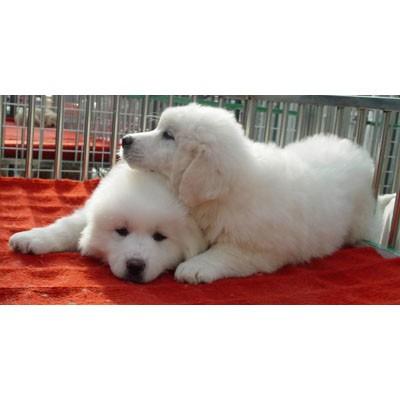 玉树什么地方有狗场哪里有卖宠物狗/玉树哪里有卖大白熊