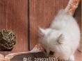自家繁育纯血金吉拉幼猫多只弟弟妹妹都有可办理证书欢