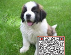 圣伯纳犬多少钱,哪里有圣伯纳,纯种圣伯纳,包纯包健康
