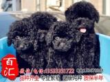佛山哪里有卖泰迪熊 玩具型泰迪熊 红泰迪熊买卖狗