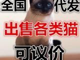 江浙沪一手猫咪英短加菲布偶美短渐层全国可发货