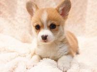 重慶出售 純種柯基犬 威爾士短腿柯基犬 柯基犬幼犬