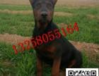 出售5-6个月的莱州红犬幼犬图片小莱州红犬多少钱一只