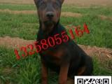 莱州红犬价格 莱州红犬幼犬多少钱 小莱州红犬图片