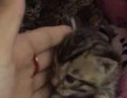 【孟加拉•豹猫】专业繁殖宠物猫猫