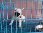 出售赛级品质纯种法国斗牛犬 各色均有 可视频看狗