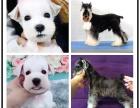 本地犬舍繁殖精品雪纳瑞犬 健康质保 放心挑选